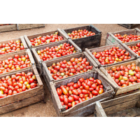Freshly produced tomatos available at low cost
