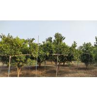 ORGANIC NAGPURI ORANGES FOR SELL