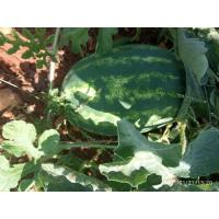 20tons  of Suprith variety export  watermelon