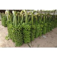 Harvested-Banana.jpg
