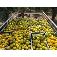wholesale oranges directly from farm