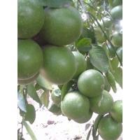 Farm Fresh Big Juicy Green Lemons for sale