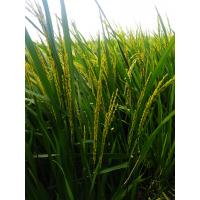 AST16 - Paddy for sale in one month