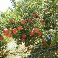 Fresh pomogranate