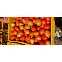 Fresh Tomatoes hybrid