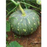 Fresh hybrid pumpkin for sale