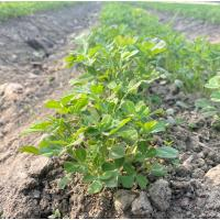 Organic Fenugreek/Methi