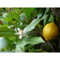 Best quality organic lemon at good prices.