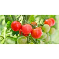 Cherry Tomato - Hydroponically Grown