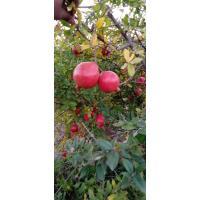 Pomegranate Farmer and Aggregator