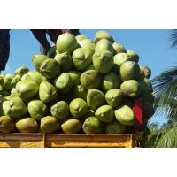 Tender coconuts from Theni Tamil Nadu