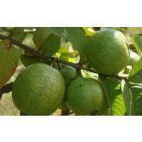 Organic Gauva - Allahabad Safeda