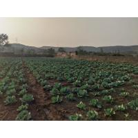 Cabbage Pattagobhi for sale