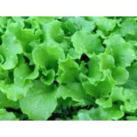 Green rapid lettuce