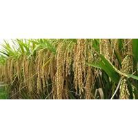 1121 Sella Basmati rice paddy