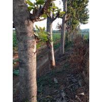 TEAK WOOD -35 Year old Teak Wood Trees, 50 Nos. 12,000 per