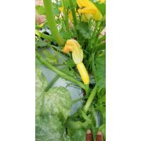Zucchini green and yellow