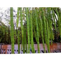 Drumstick seeds pkm 2 odc 3