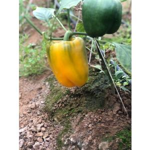 bel-pepper-2.jpeg