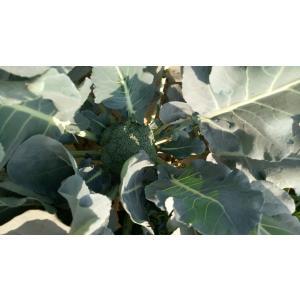 broccoli-1.jpeg