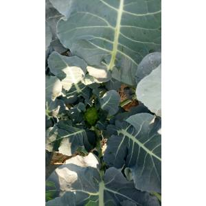 broccoli-2.jpeg