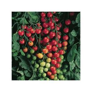Cherry Tomato.jpg