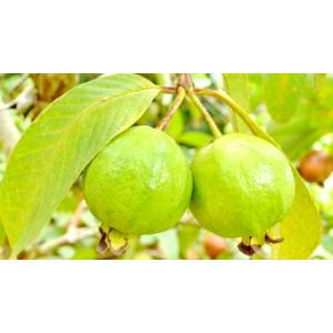 guava-leaves-625_625x350_61447742172.jpg