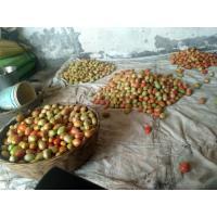 Fresh farm Tomato