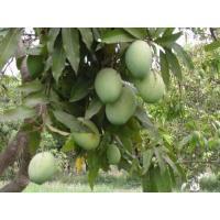 Suger Free Mangoes (Sundarja Mango)