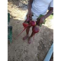 Fresh beetroot