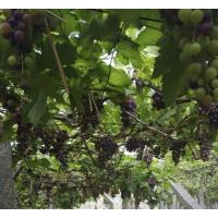 Fresh organic black grapes