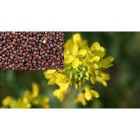Mustard Seed Pusa