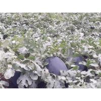Bahubali seed plantation