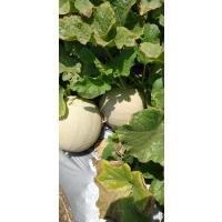 Sweet&Fresh direct from farm organic kharbuja