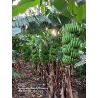Fresh Banana 90000kg G9