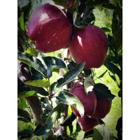 orchard fresh apples from kashmir the wait is over, order now