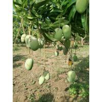 Organic Kesar mangoes from farm