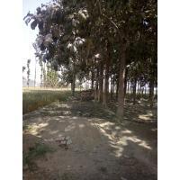 teak wood trees Urgent sale