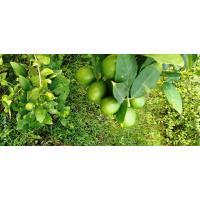 Juicy Fluit Green Lemon