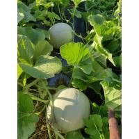 Fresh Musk Melon Produce Ready to Harvest