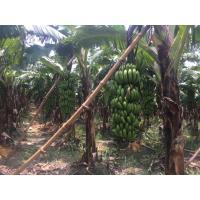 Banana (5 ton) Kanpur U.P.