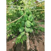 Papaya from farm