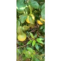 Narthangai (Lemon)