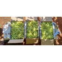 Farm green Kabul grapes
