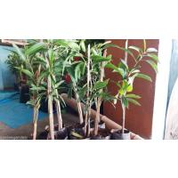 MANGO GRAFTED PLANTS 200 No. Contact immediately