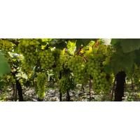 Thompson Seedless Grapes