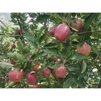We have very good quality of Organic apples directly from farm.