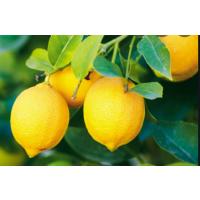 Lemons in Gulbarga/Aland Karnataka
