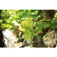 Fresh Thompson Variety Green Seedless