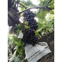 Grapes from Shirdi, Rahata